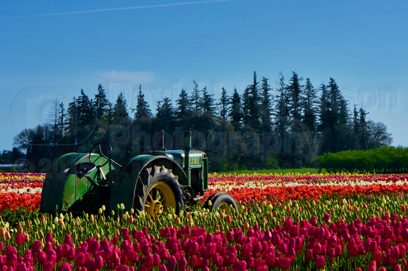 2014-04-10 l Woodenshoe Tulip Farm 08-30-49 1529 - Version 2.jpg